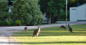 Murraybank Caravan Park Mathoura - local kangaroos
