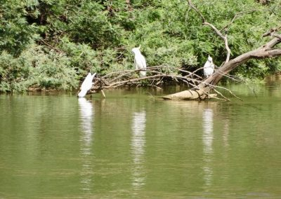 cockatoos on the river